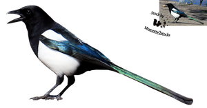 Cut-out stock PNG 121 - singing magpie by Momotte2stocks