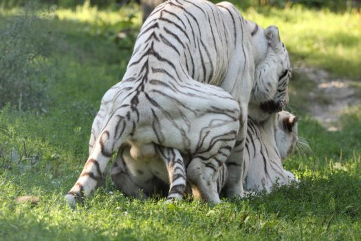 Tigers mating 1 by Tigerlover4