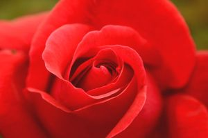 Red rose by Aishlling