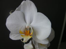 white Orchids 2 by paolaquasar