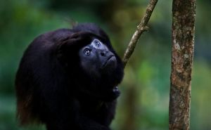 Howler Monkey by JanikL