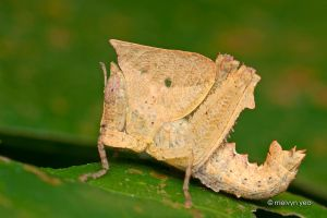 Dead leaf grasshopper by melvynyeo