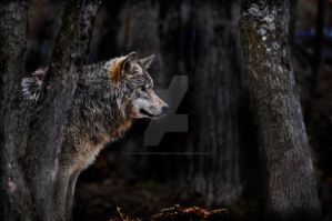 Timber Wolf amongst trees by MichaelsPhotography