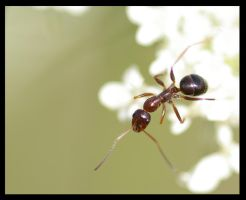 Ant in white by jesse-botanical