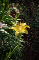 Yellow Lily by Photoshop-Wizard