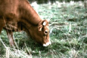Cow 01 by LapinBlancFR