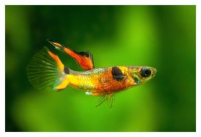 Endler's guppy by DonGolgi