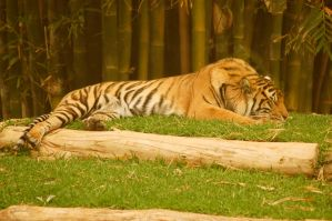 34 Tiger sleeping by Chunga-Stock