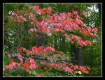 Red leaves. L1040351, with story by harrietsfriend