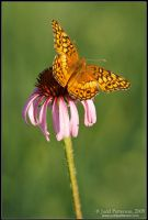Fritillary Flower by juddpatterson
