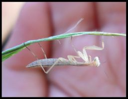 Young Mantis Religiosa 2 by FuriarossaAndMimma