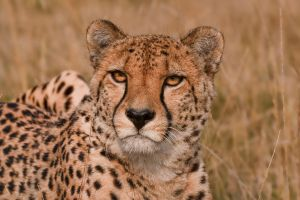 Cheetah by mansaards