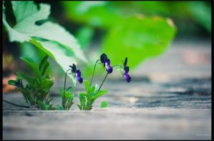 Viola tricolor by restive-wench