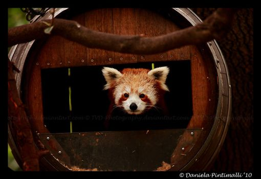 Red Panda: Peek-a-boo by TVD-Photography