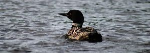 Loon on Elbow Lake by I-Heart-Photos