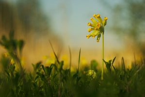 Cowslip by perost