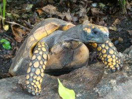 Bid for freedom - yellow footed tortoise by Bluelizzy