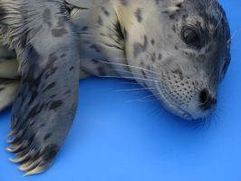 Rescued harbor seal pup by Remedy-Kiua