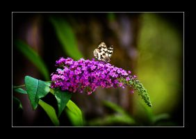 Butterfly by calimer00