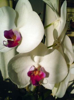 orchid 5 by Tizziana