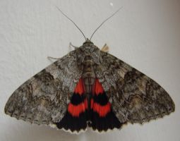 Red Underwing Moth(Catocala nupta) Wakes Up 3 of 3 by SrTw