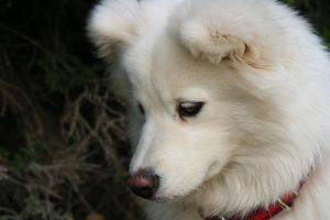 Samoyed 3 by Spinman2