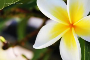 Frangipani by bonfirelights