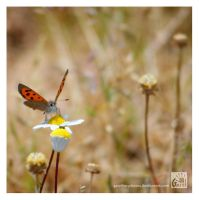 Small Copper by Garelito-Photos