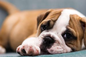 BullDog Puppy3 by VictoriaR