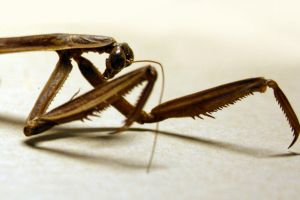 Chinese praying mantis II by deadenddoll-stock