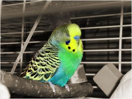 - Charlie our new budgie by insane-whiskey