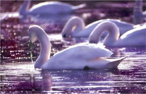 Violet swans by AStoKo