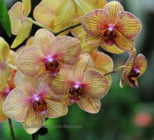 Yellow orchids by bp2007
