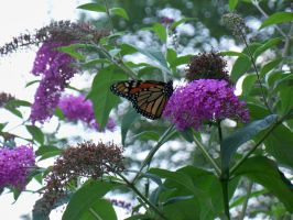 monarch butterfly 2 by akita4ever
