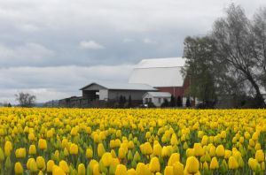 A Barn In The Tulip Field II by Photos-By-Michelle