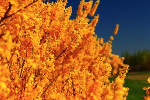 Yellow Forsythia by Celem