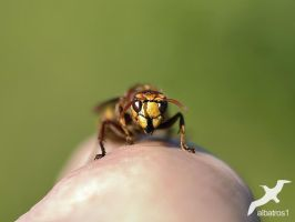 Hornet on my Hand by albatros1