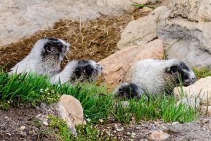 Hoary Marmot Pups on the Skyline Trail by AFL