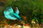 Half Moon Betta by theperfectlestat