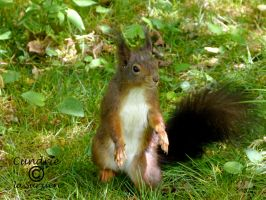 Squirrel 82 by Cundrie-la-Surziere
