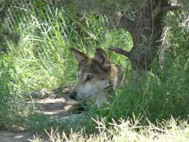 LD August 14: Mexican Wolf 25 by FamilyCanidae