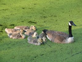 Family of Canadian Geese by Michies-Photographyy