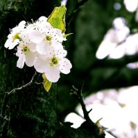 Callery Pear Blossoms II by AcceptedOutcast
