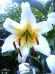 white giant lily by virnagray