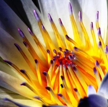 Everglades Waterlilly 1 by GUYWITHCAMERA