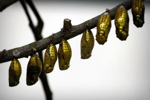 Butterfly Pupae by josgoh