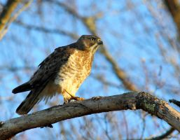 Evening Hawk by natureguy