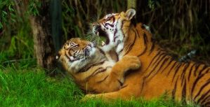 Sumatran Tiger Mother + Cub ii by weaverglenn