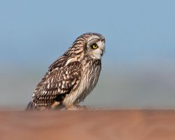 Short eared owl 4 by pixellence2