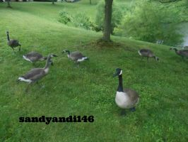 Many Geese by sandyandi146